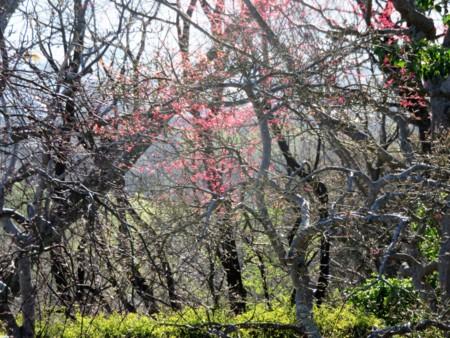 紅葉の芽吹き‥赤く淡い