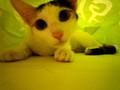[猫][かわいい]「?」