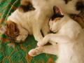 [猫][ねこ]家宝は寝てマス