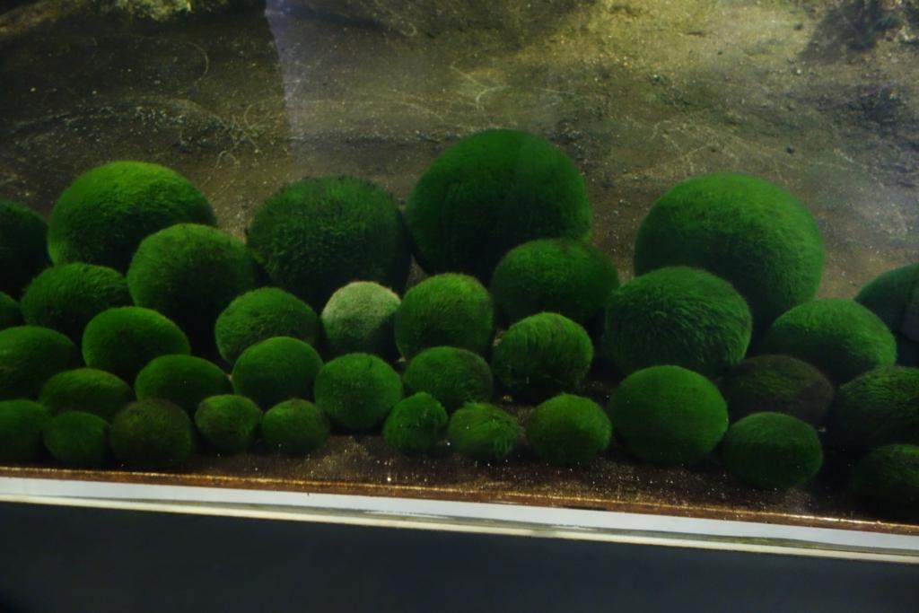 マリモ展示観察センターで見られるマリモ