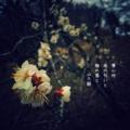 [photoikku][jhaiku][春][spring][poetry][季語][写真俳句][snapseed][photohaiku][フォト俳句]夢心地 雨の匂いと 梅の香と[山乃鯨]
