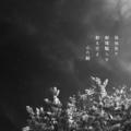 [photoikku][jhaiku][春][spring][poetry][季語][写真俳句][snapseed][photohaiku][フォト俳句]孤独裂き 朝陽翳(かげ)らせ 散る花よ[山乃鯨]