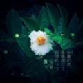 [phonto][jhaiku][夏][summer][poetry][季語][写真俳句][snapseed][photohaiku][フォト俳句]沙羅の花 慕情咽(むせ)びて 雨濡れつつ[山乃鯨]