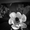 [jhaiku][夏][haiku][写真俳句][poetry][季語][photohaiku][micropoetry][summer][フォト俳句]照(て)る雨や 月に夕風 朴(ほお)の花[山乃鯨]