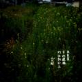 [jhaiku][夏][haiku][写真俳句][poetry][季語][photohaiku][micropoetry][summer][フォト俳句]月見草 天地(あめつち)逢瀬 灯は向かふ[山乃鯨]