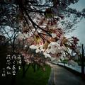 [jhaiku][俳句][haiku][写真短歌][春][桜][photohaiku][micropoetry][フォト俳句][poem]雨帰る 疼(うず)く春雷 花芯ぬれ[山乃鯨]