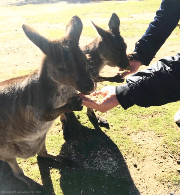 オーストラリア カンガルー 動物園 メルボルン バララット