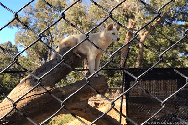 オーストラリア ディンゴ 動物園 メルボルン バララット