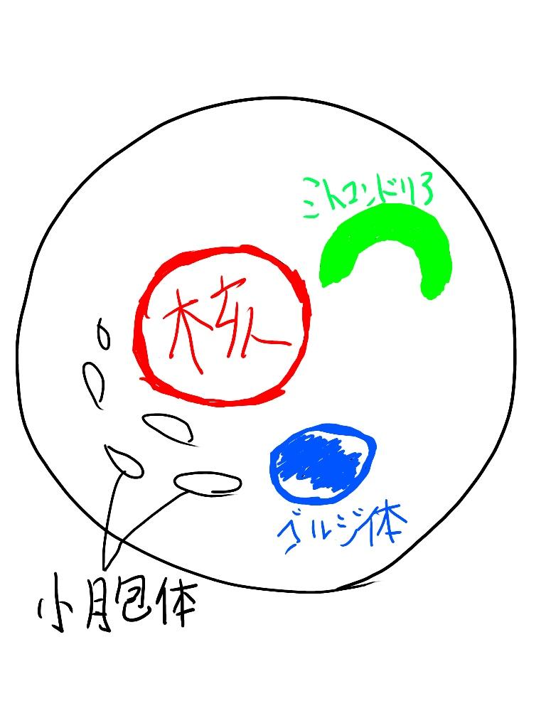 細胞内の仕組み 核と小胞体とミトコンドリアがある