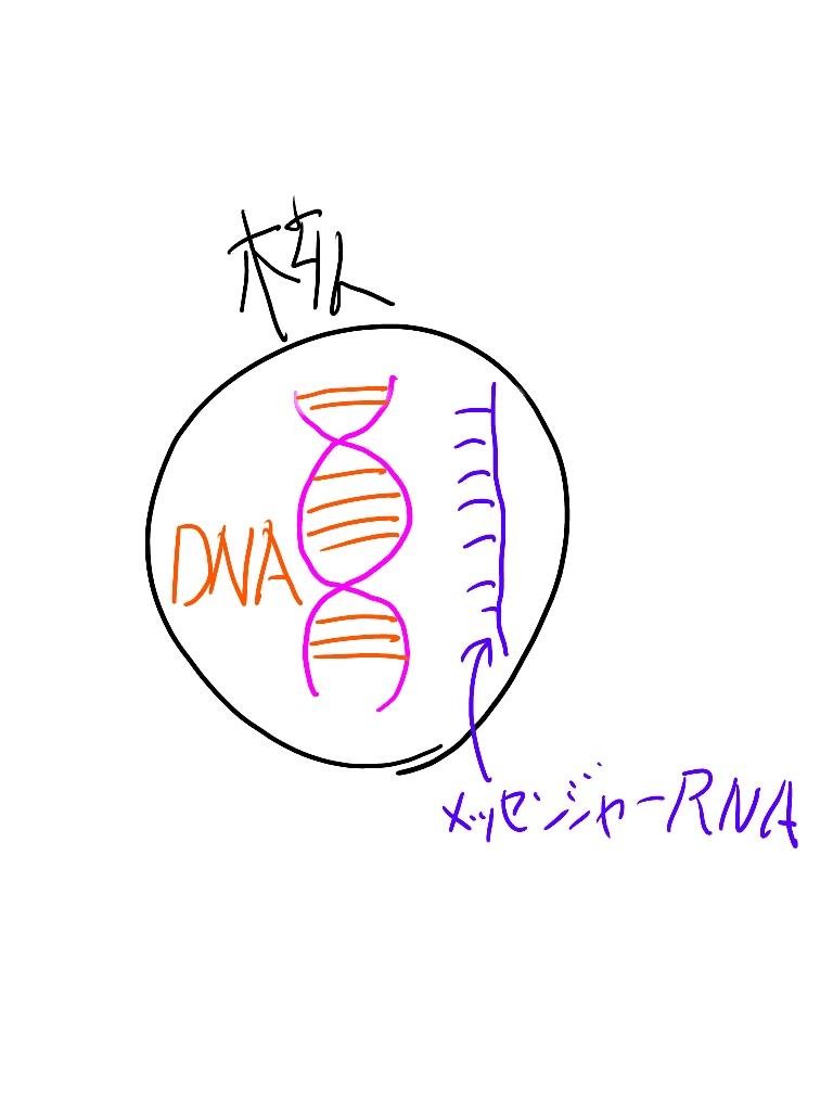 核の中にはDNAがあり、メッセンジャーRNAがアミノ酸を生み出す
