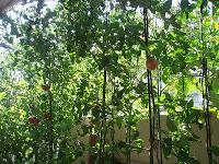 夏の家庭菜園