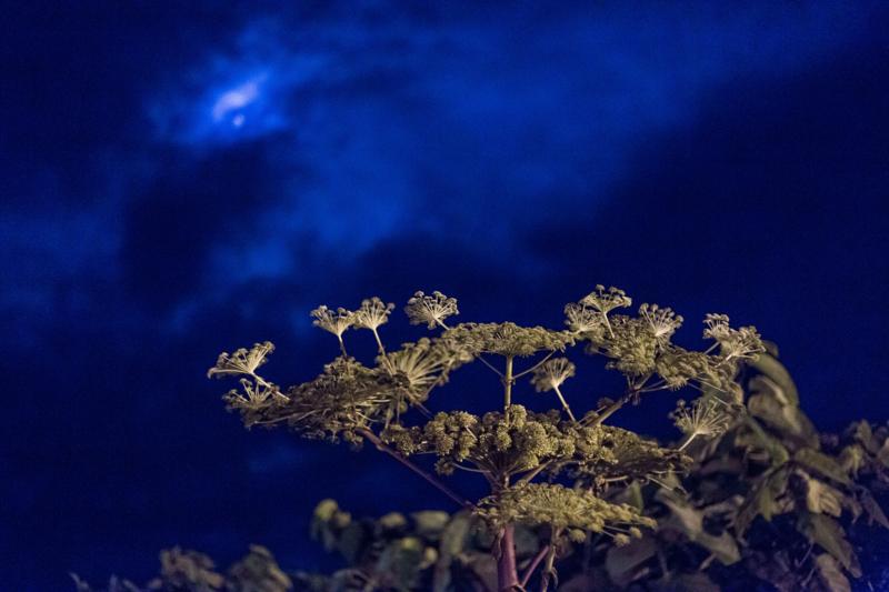 夜のエゾニュウ。