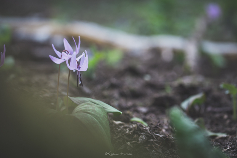 物陰からカタクリの花