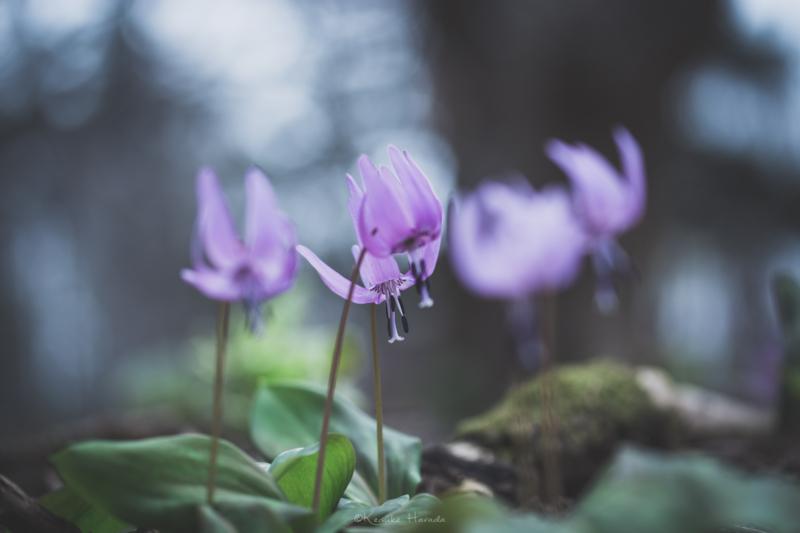 風に揺れるカタクリの花