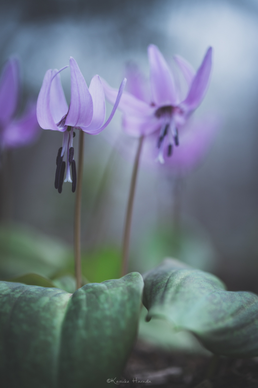 縦構図でカタクリの花