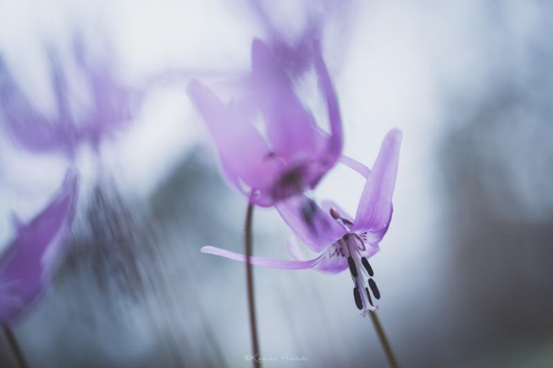 風に揺れるカタクリの花2