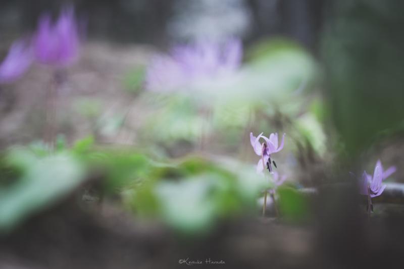 隙間からカタクリの花