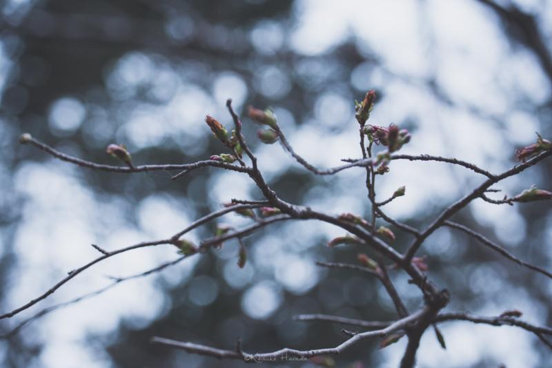 桜ももうすぐ開花しそう