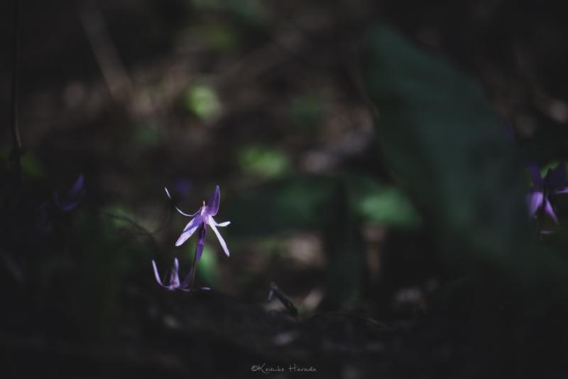 日陰でひっそりと日の光を待つカタクリの花