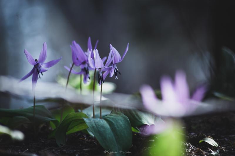 日の光に踊るカタクリの花