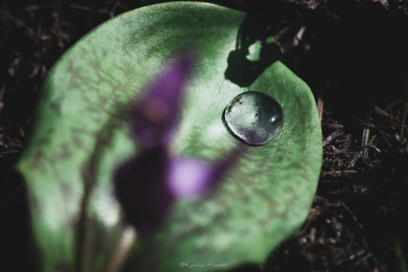 朝露を若葉で大切に受け止めるカタクリの花