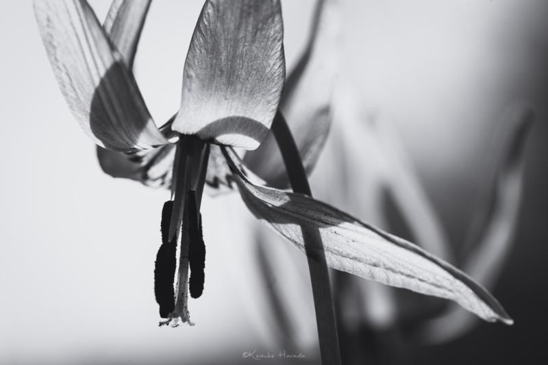 モノクロでカタクリの花