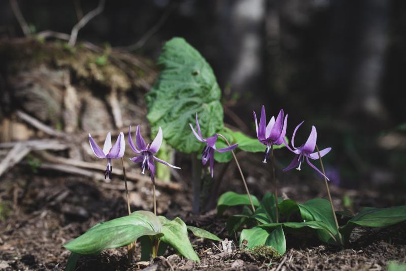 5人姉妹のカタクリの花