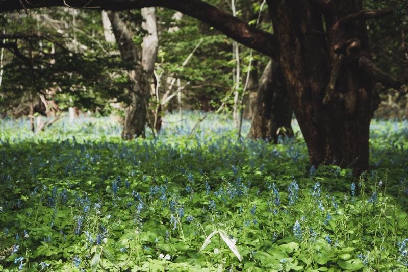 焼尻島オンコ原生林のエゾエンゴサク