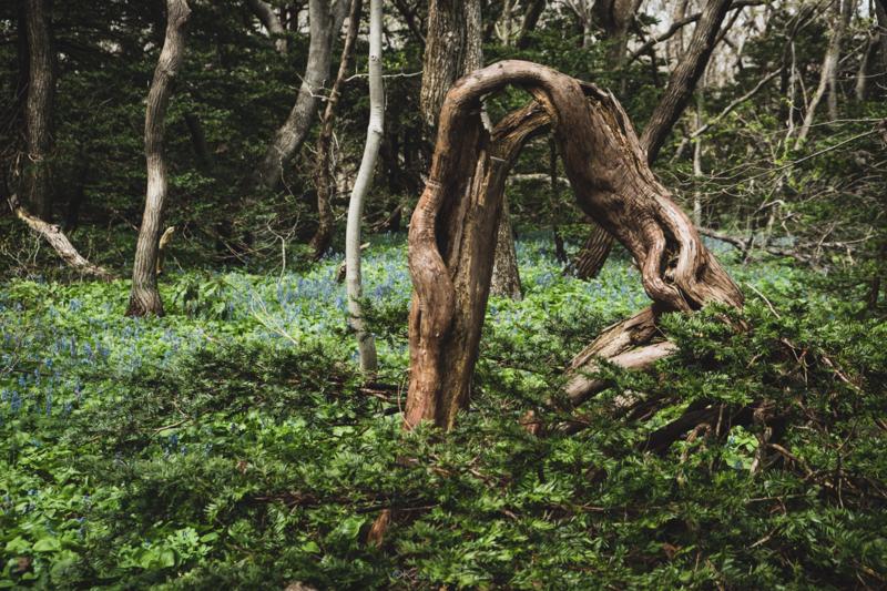 焼尻島オンコ原生林の奇怪なオンコの樹