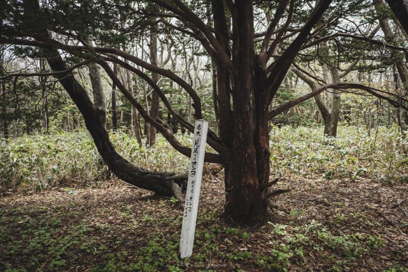 焼尻島のオンコ原生林に生えるオンコの奇木1
