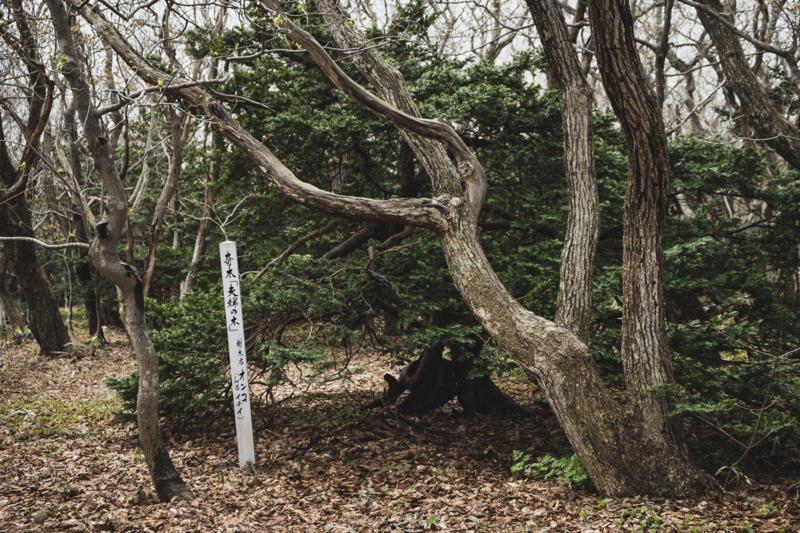 焼尻島のオンコ原生林に生えるオンコの奇木3
