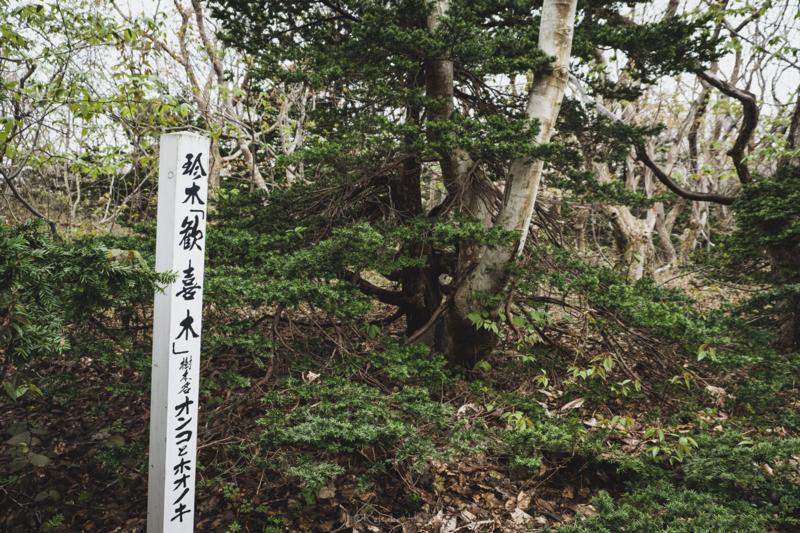 焼尻島のオンコ原生林に生えるオンコの奇木4