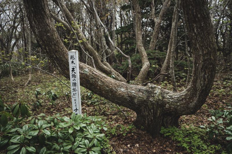 焼尻島のオンコ原生林に生えるオンコの奇木5