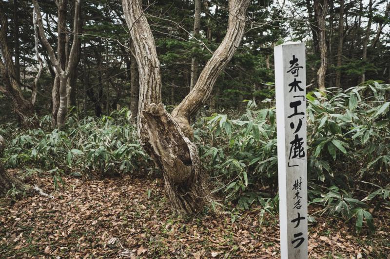 焼尻島のオンコ原生林に生えるオンコの奇木6