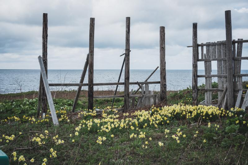 焼尻島廃屋の柵と水仙