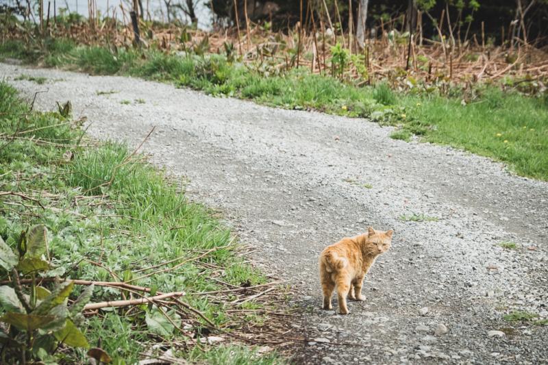 焼尻島のボス猫