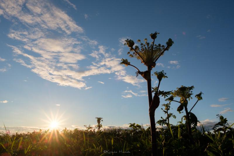 夕陽とエゾニュウ