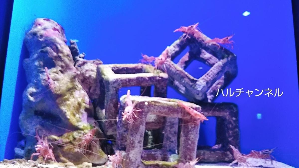 【沖縄】美ら海水族館「館内:水槽の中エビ」
