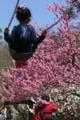 京都新聞写真コンテスト ブランコからの花見