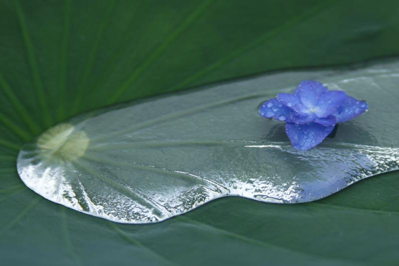 京都新聞写真コンテスト 時を待つ紫陽花