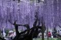 京都新聞写真コンテスト 平等院の藤 奇麗に撮ってや!