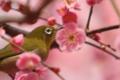京都新聞写真コンテスト 城南宮の梅とメジロ
