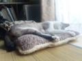 居間のクーラーつけるとふかふかクッションで寝てる姿が見れます
