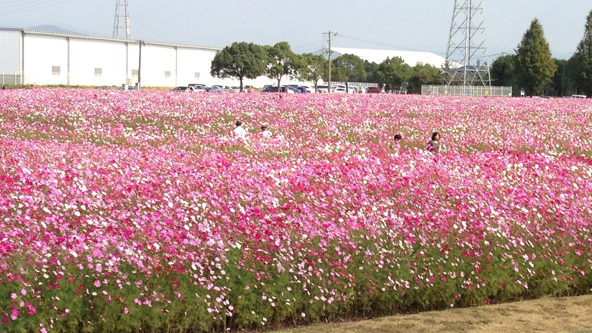 キリンビール福岡工場 コスモス2012 iggy2019