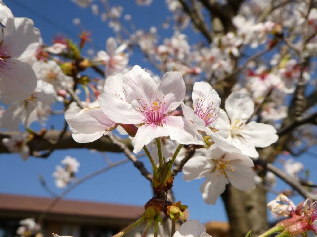 鹿児島 桜 2017