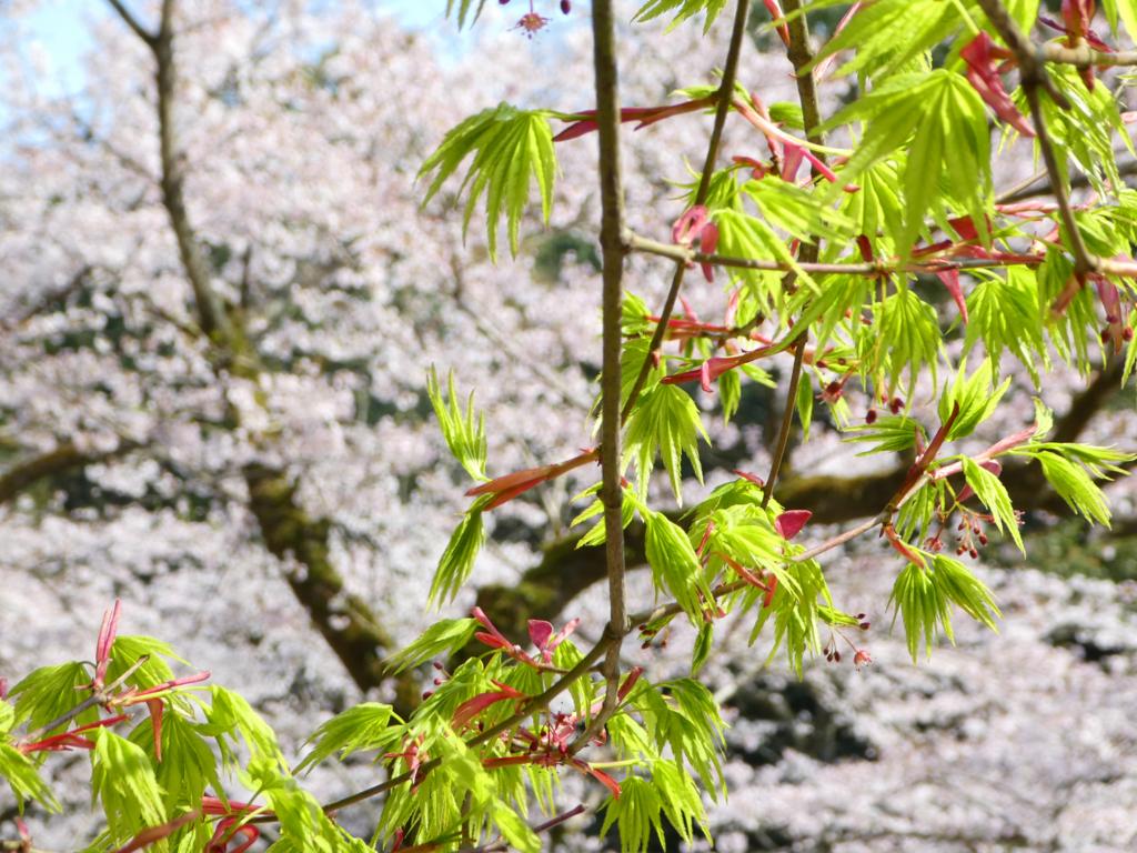 慈眼寺公園 桜 2018