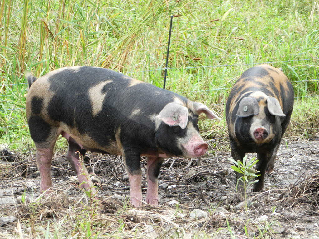 森小休 放牧豚
