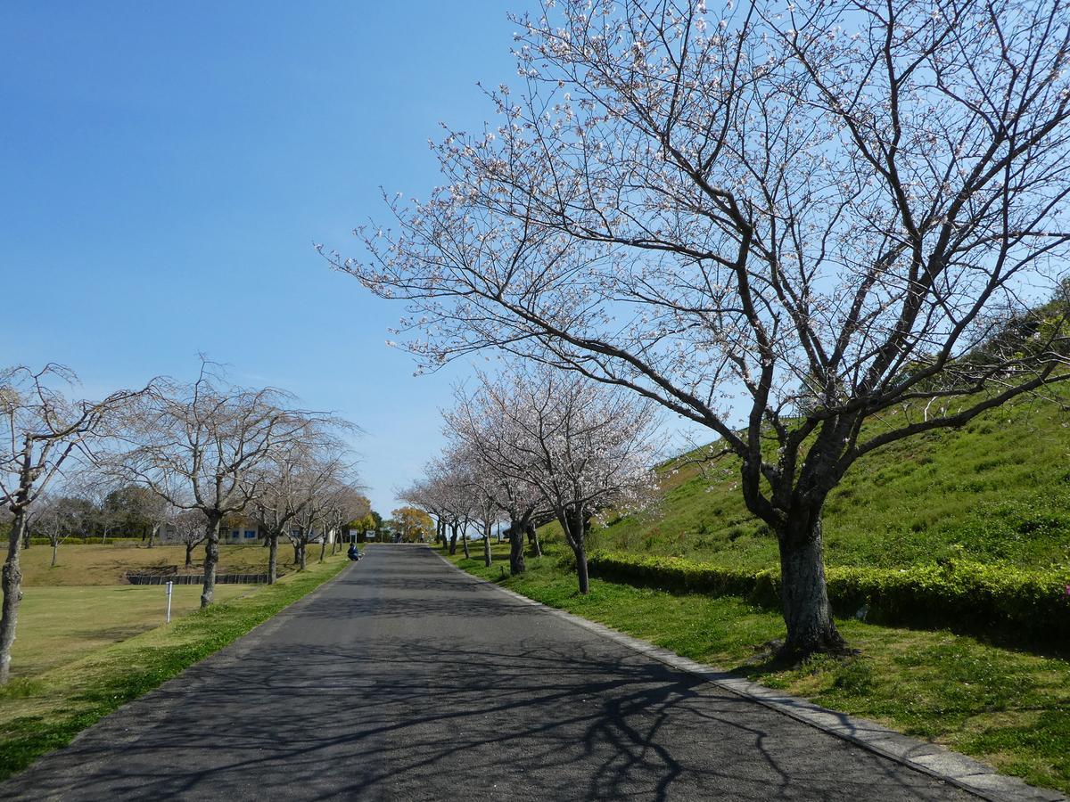 錦江湾公園 桜
