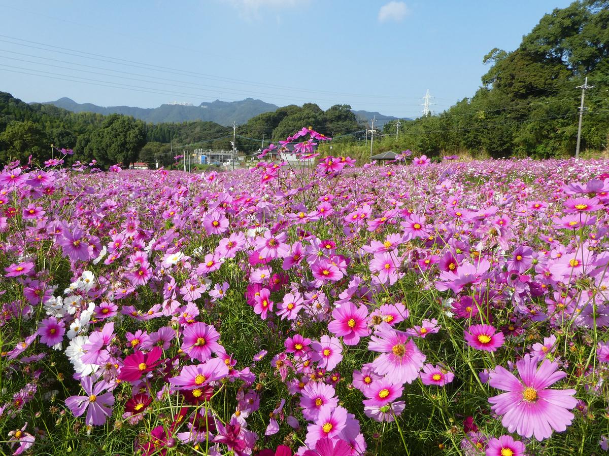慈眼寺公園 コスモス