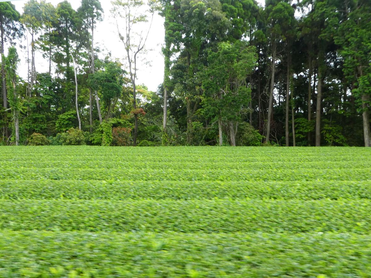 鹿児島市 茶畑